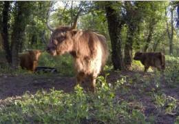 Des bovins sur le Rhône